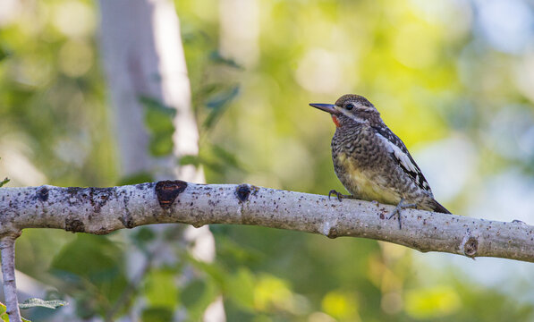 yellow bellied sapsucker on tree branch
