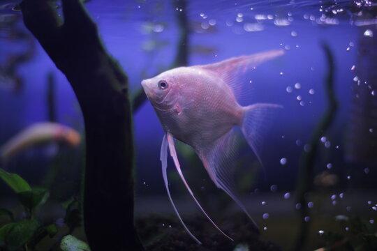 Wondering Angel Fish