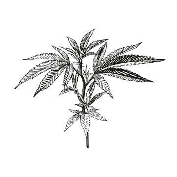 Hand drawn cannabis. Black ink line sketch of marijuana isolated on white background