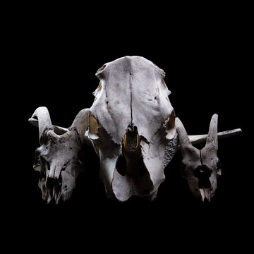 Animal skull on a black background.