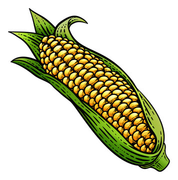 Corn vegetable illustration in a vintage retro woodcut etching style.