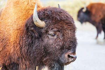 Fototapeta Buffalo