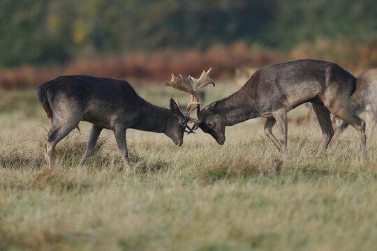 Fallow Deer Locking Horns