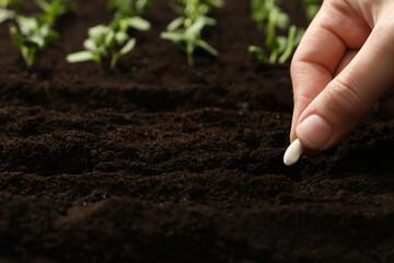 Woman planting beans into fertile soil, closeup. Vegetable seeds