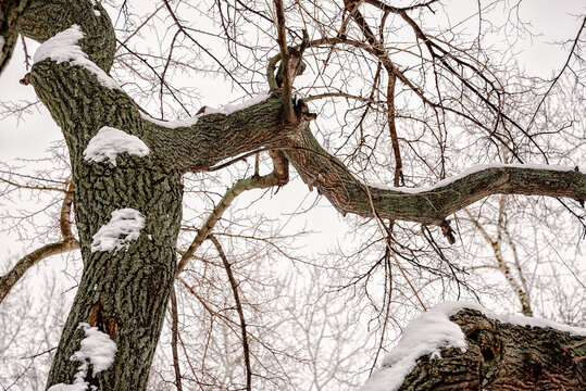 Closeup of a mulberry tree covered by fresh snow on it during the cold winter, in Kiev, Ukraine