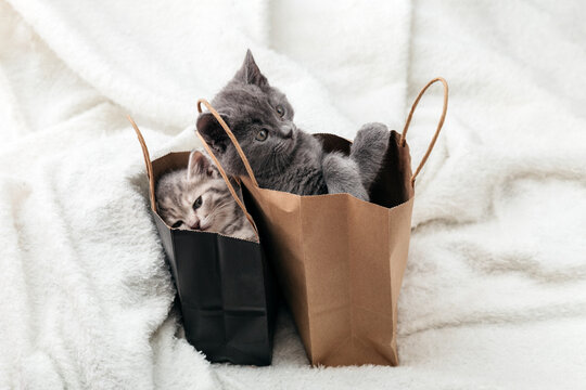Cat looks out of paper bag. Gift on valentine day kitten in package surprise. Sale purchase concept. Adorable small tabby kittens are hiding in paper shopping bags.