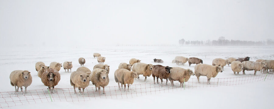 Flock of sheep standing in a cold white winter landscape with snow in the Netherlands