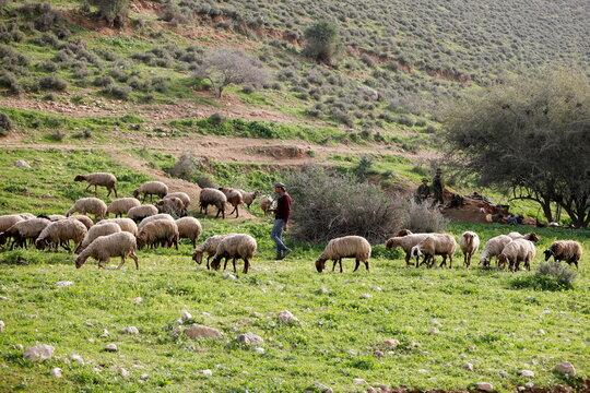 A Palestinian shepherd herds his sheep as Israeli soldiers rest in Jordan Valley in the Israeli-occupied West Bank