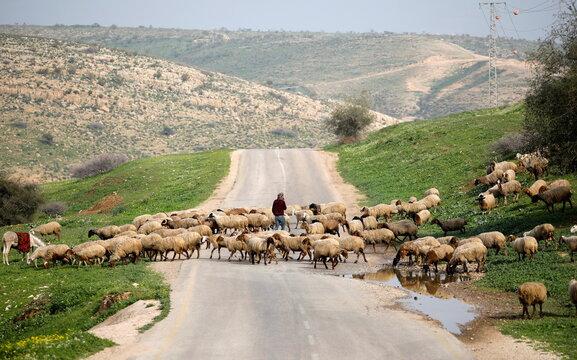 A Palestinian shepherd herds his sheep in Jordan Valley in the Israeli-occupied West Bank