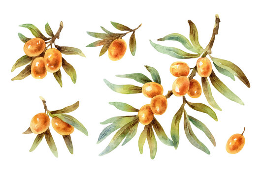 Watercolor vector twigs with sea buckthorn berries