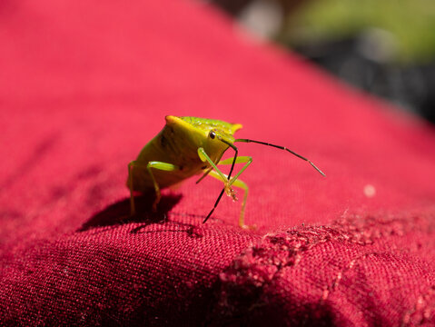 a yellow bug insect on a red background