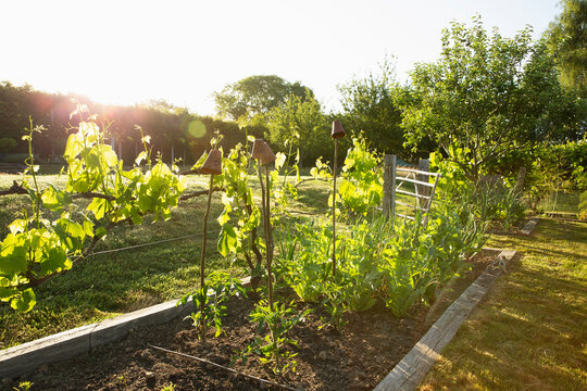 Vegetable plants growing in sunny idyllic summer garden