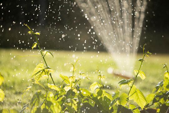 Sprinkler watering lush green plants in sunny summer garden