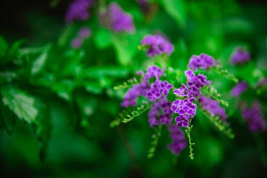 Close up of purple Duranta erecta flowers on a blurred background