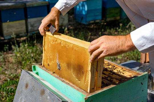 Man`s hands pull off a honeycell full of honey from a beehive. Unrecognizible beekeeper works at apiary. Summer day.