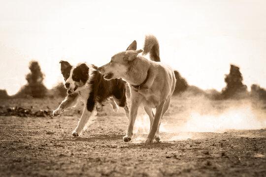 Zwei Hunde rennen im Staub
