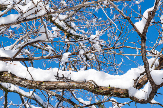 Image of snow and ice covered tree branches with blue sky in the background