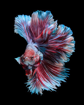 Portrait of a red and blue betta fish against a black background