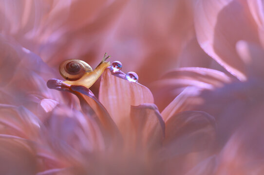 Close-Up of a miniature snail and dew drop on a pink flower, Indonesia