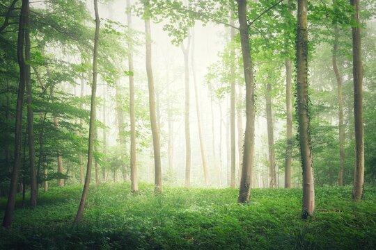 Misty forest landscape, Warwickshire, England, UK