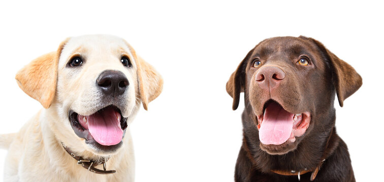 Portrait of two cute labrador puppies isolated on white ackground