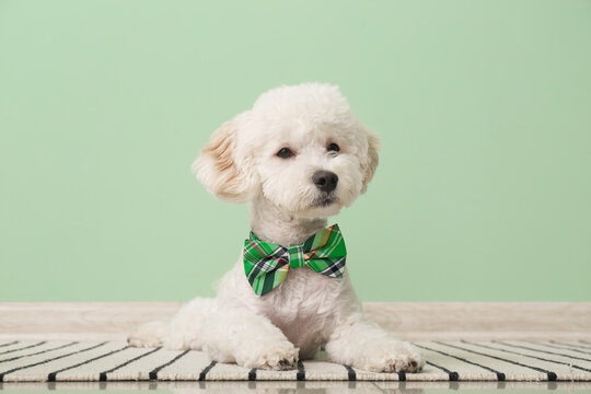 Cute dog with green bowtie near color wall. St. Patrick's Day celebration