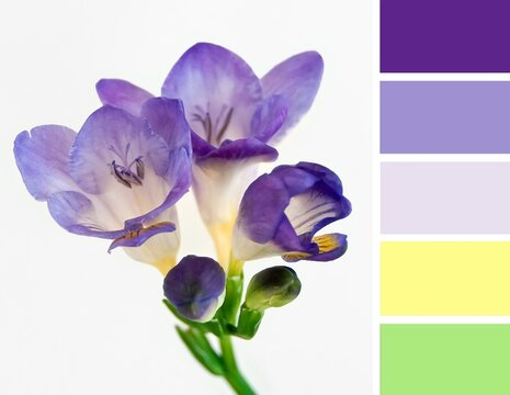 Color palette swatches of beautiful blossom of purple violet yellow freesia flower on light creamy background. Pastel trendy combination, colorful inspiration from natural floral beauty.