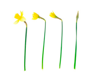 Spring garden daffodils on white background. Photo