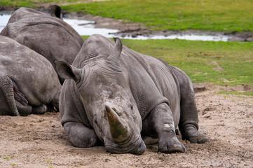 Printed kitchen splashbacks Rhino Witte neushoorn liggend in het zand.