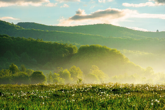 dandelion field in rural landscape at sunrise. beautiful nature scenery with blooming weeds in morning light. clouds on the sky above the distant mountain
