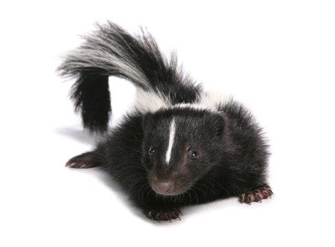 skunk baby