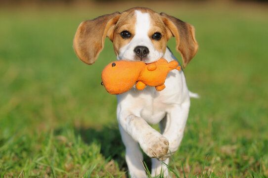 Beagle puppy dog runs with ball of the meadow