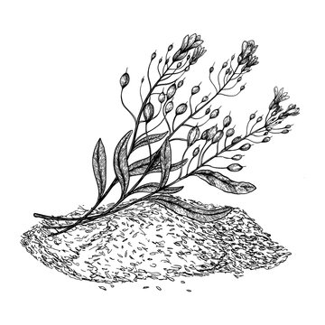 Camelina sativa seeds with flowers and leaves. Hand drawn vector illustration on white background. Engraving drawing style.