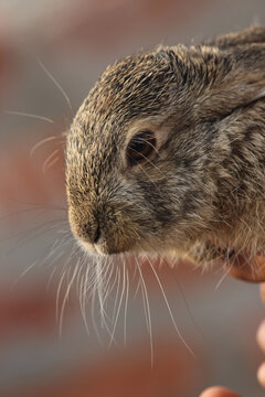 Head of a cute brown rabbit on a blurred background