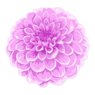 Illustration of blooming aster flower.