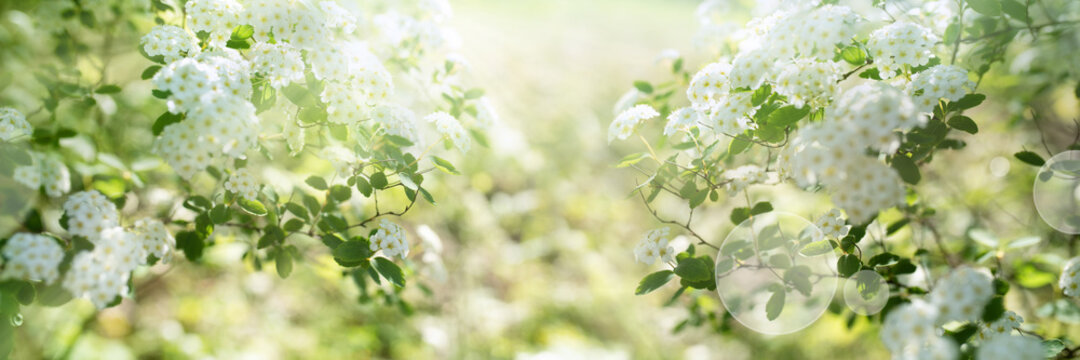 White blooming spirea shrub in sunny spring. Seasonal background mit hellem bokeh and and short depth of field. Space for text.