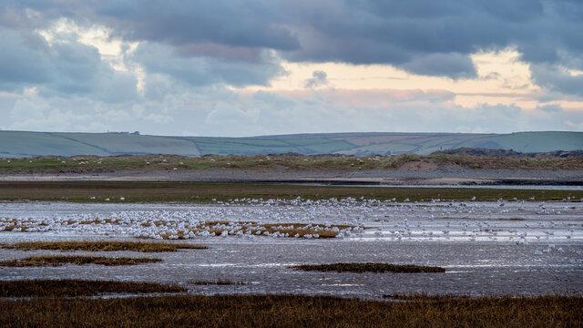 Masses of gull roosting, Skern area of Northam Burrows, near Appledore, North Devon.