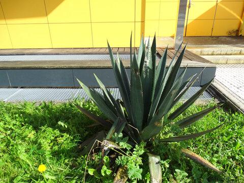 Big green Cactus and Yellow wall