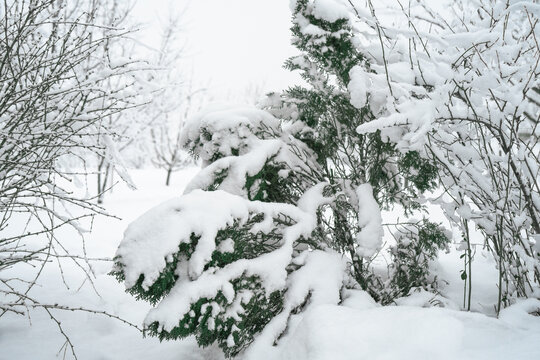 Thuja under a thick layer of snow