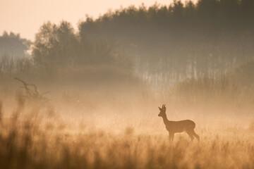 roe deer in the morning