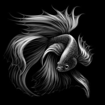 Tropical fish. Black and white graphic portrait of a fighting fish on a black background. Digital vector graphics.