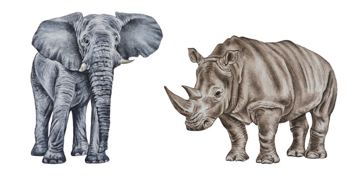 African rhino and elephant. Watercolor realistic illustration of animals isolated on a white background. Hand drawn. Closeup. Art print. Template.