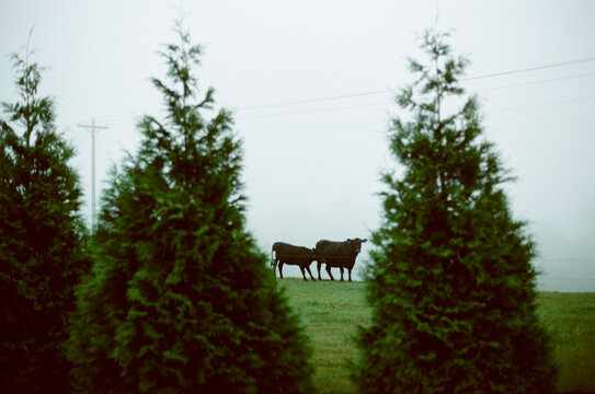 two black cows