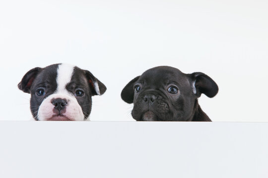 Closeup shot of cute Boston Terrier puppies
