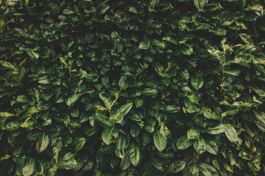 Green hedge leaves background