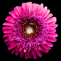 gerbera flower purple. Flower isolated on black background. No shadows with clipping path. Close-up. Nature