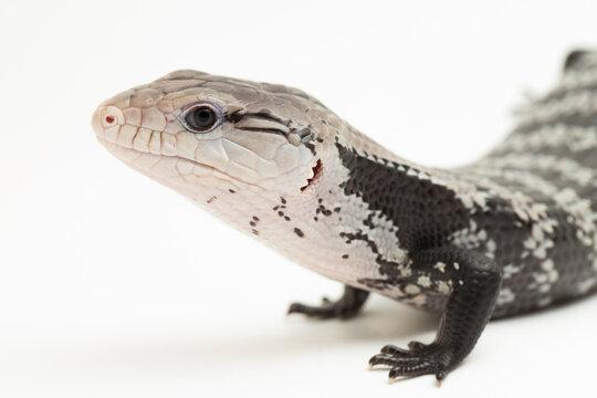 Giant blue-tongued skink lizard or Tiliqua gigas isolated on white background