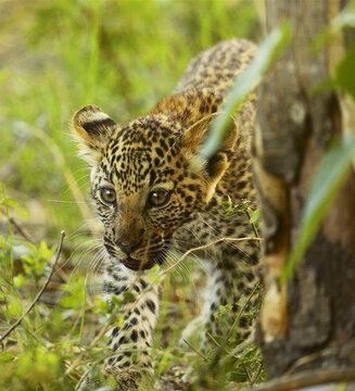 Closeup shot of a baby cheetah in a field