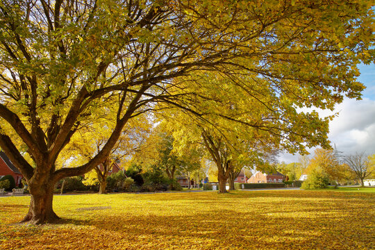 Linden tree in an autumn park, East Frisia, Lower Saxony, Germany
