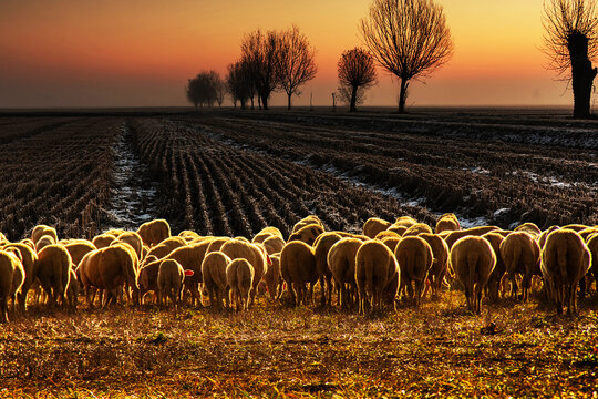 Rear view of a flock of sheep in a field at sunset, Castelceriolo, Alessandria, Piedmont, Italy
